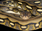Reticulated Python (Python Reticulatus), Captive Photographic Print by Michael Kern
