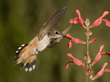 Rufous Hummingbird Female (Selasphorus Rufus) Feeding at a Salvia Flower, Scarlet Spires Variety Photographic Print by Charles Melton
