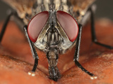 Fly Head Showing Mouthparts and Compound Eyes While it Eats Fruit Photographic Print by Mark Plonsky