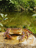 Freshwater Crab (Potamon Fluviatilis) in Habitat Photographic Print by Fabio Pupin