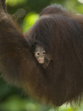 Young Orangutan Cuddled in the Fur of a Parent (Pongo Pygmaeus) Photographic Print by Joe McDonald