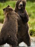 Brown Bears (Ursus Arctos) Play Fighting Wrestling in a River in Katmai National Park, Alaska, USA Photographic Print by Joe McDonald
