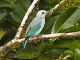 Blue-Gray Tanager (Thraupis Episcopus), Arenal Volcano, Costa Rica Photographic Print by Joe McDonald