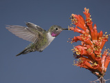 Broad-Tailed Hummingbird Male (Selasphorus Platycercus) Feeding at the Red Tubular Flowers Photographic Print by Charles Melton