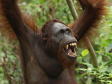 Bornean Orangutan (Pongo Pygmaeus), Camp Leaky, Tanjung Puting National Park, Kalimantan Borneo Photographic Print by Thomas Marent