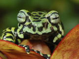 Tiger Tree Frog on a Bromeliad Flower (Hyloscirtus Tigrinus), Pasto, Depart, Narino, Colombia Photographic Print by Thomas Marent
