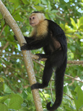 White-Throated Capuchin Climbing on a Forest Branch (Cebus Capucinus), Cahuita National Park Photographic Print by Thomas Marent