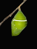 The Chrysalis Stage of the Blue Morpho Butterfly (Morpho Amathonte) Photographie par Jeffrey Miller