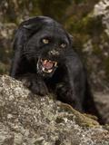 Leopard (Panthera Onca), Melanistic Morph, Growling and Snarling, Captivity Fotografisk tryk af Joe McDonald