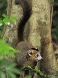 Male Crowned Lemur (Eulemur Coronatus), Ankarana National Park, Northern Madagascar Photographic Print by Thomas Marent
