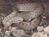 Twin-Spotted Rattlesnake (Crotalus Pricei), Arizona, USA Photographic Print by Joe McDonald