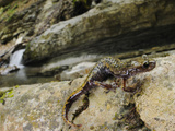 A Cave Salamander (Speleomantes Strinatii), Italy Photographic Print by Fabio Pupin