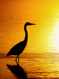 Great Blue Heron (Ardea Herodias), Merrit Island, Florida, USA Photographic Print by Arthur Morris