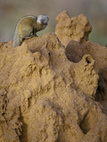 Common Dwarf Mongoose (Helogale Parvula) on a Termite Mound, Samburu Game Reserve, Kenya, Africa Photographic Print by Mary Ann McDonald