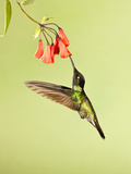 Magnificent Hummingbird Nectaring at a Red Tubular Flower (Eugenes Fulgens), Costa Rica Photographie par Joe McDonald