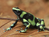Green and Black Poison Frog (Dendrobates Auratus), Corcovado National Park, Costa Rica Photographie par Thomas Marent