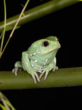 Painted Monkey Frog (Phyllomedusa Savaugi), Paraguay, Captivity Photographic Print by Joe McDonald