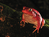 Tomato Frog (Dyscophus Antongilii), Maroantsetra, Northeastern Madagascar Photographic Print by Thomas Marent