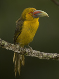 Saffron Toucanet, Baillonius Bailloni, South America Photographic Print by Joe McDonald