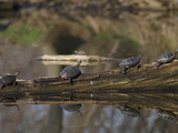 Painted Turtles (Chrysemys Picta) Sunning on a Log in a Pond Photographic Print by Robert Servranckx