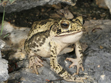 A Gulf Coast Toad (Bufo Valliceps), Val Verde, Texas, USA Photographic Print by Gerold & Cynthia Merker