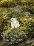 Collared Pika (Ochotona Collaris), Denali National Park, Alaska, USA Photographic Print by Mary Ann McDonald