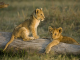 African Lion Cubs Resting on a Log (Panthera Leo), Masai Mara, Kenya Photographic Print by Joe McDonald