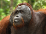 Male Borneo Orangutan Head and Face (Pongo Pygmaeus) Tanjung Puting National Park, Kalimantan Photographic Print by Thomas Marent