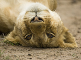 Young Lion (Panthera Leo) Lying on its Back, Masai Mara, Kenya Photographic Print by Mary Ann McDonald