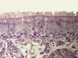 Section of Human Olfactory Mucosa, LM X130 Photographic Print by David Phillips