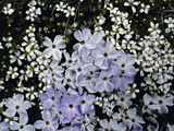 Cushion Phlox (Phlox Pulvinata) Surrounded by Alpine Sandwort (Minuartia Obtusiloba) Photographic Print by Robert & Jean Pollock