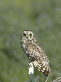Short-Eared Owl (Asio Flammeus), Montana, USA Photographic Print by Neal Mischler