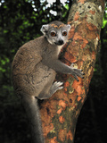 Female Crowned Lemur (Eulemur Coronatus), Ankarana National Park, Northern Madagascar Photographic Print by Thomas Marent