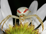 White and Red Crab Spider on the Underside of a Flower Photographic Print by Mark Plonsky