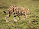 Cheetah (Acinonyx Jubatus) Playing in the Masai Mara Game Reserve, Kenya Photographic Print by Joe McDonald