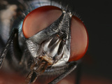 Bottle Fly (Lucilia Phaenicia) Showing the Mouth Parts and Compound Eyes Photographic Print by Mark Plonsky