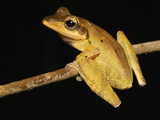 Dark-Eared Tree Frog (Polypedates Macrotis), Danum Valley Conservation Area, Sabah Photographic Print by Thomas Marent