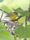 Yellow-Throated Vireo (Vireo Flavifrons) Perched at Nest Photographie par Steve Maslowski