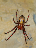 Cave Spider (Meta Menardii) Common in Italian Caves Photographic Print by Fabio Pupin