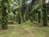 Oil Palm Plantation, Sabah, Borneo, Malaysia Photographic Print by Thomas Marent