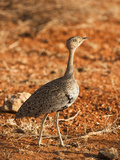 Hartlaub's Bustard Female (Eupodotis Hartlaubii), Samburu, Kenya Photographic Print by Mary Ann McDonald