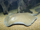 Rosette River Stingray (Potamotrygon Schroederi) Photographic Print by Andy Murch