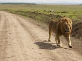 African Lion Walking Along a Dirt Road on the Savanna (Panthera Leo), Masai Mara, Kenya Photographic Print by Joe McDonald