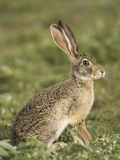 African Savanna Hare (Lepus Microtis) in the Masai Mara Game Reserve, Kenya Photographic Print by Joe McDonald