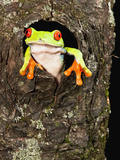 Red-Eyed Tree Frog (Agalychnis Callidryas) Peeking Out a Tree Hole Photographic Print by Joe McDonald