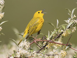 Yellow Warbler (Dendroica Petechia) Perched in a Tree Photographic Print by Steve Maslowski