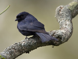 Fork-Tailed Drongo (Dicrurus Adsimilis), Africa Photographic Print by Joe McDonald