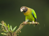 Brown-Hooded Parrot (Pionopsitta Haematotis), Laguna Del Lagarto, Costa Rica Photographie par Mary Ann McDonald