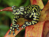 Tiger's Treefrog on a Bromeliad (Hyloscirtus Tigrinus), Pasto, Depart, Narino, Colombia Photographic Print by Thomas Marent