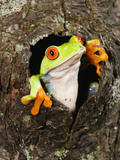 Red-Eyed Tree Frog (Agalychnis Callidryas) Looking Out of a Tree Hole Photographic Print by Joe McDonald